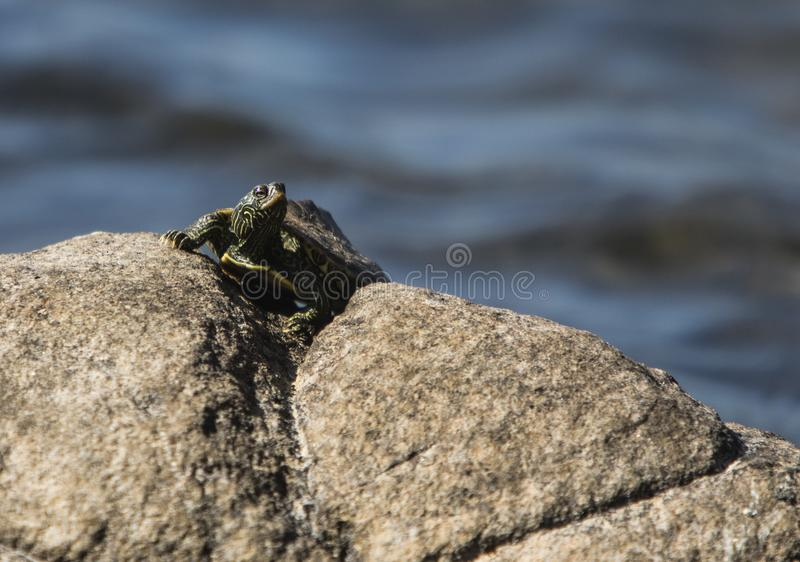 Schildpad op de rotsen royalty-vrije stock foto