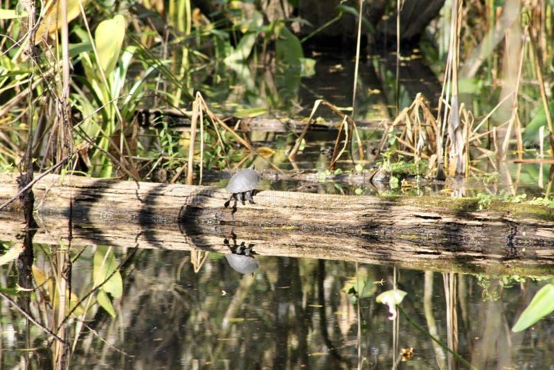 Schildpad op een gevallen boom stock foto