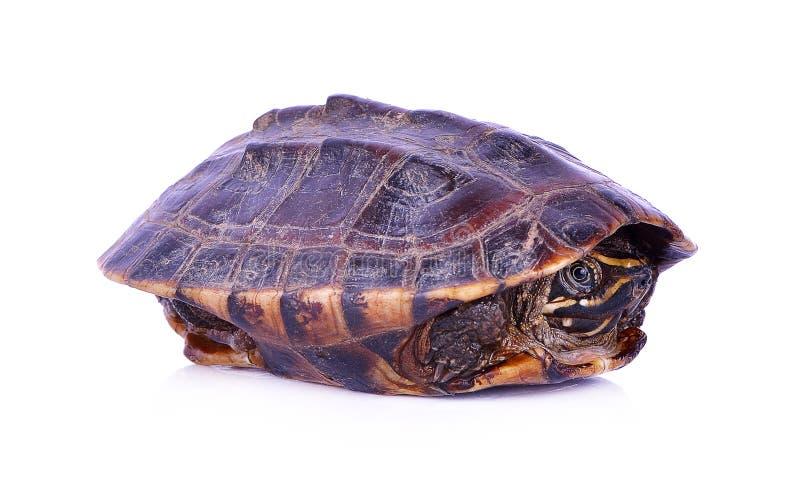 Schildpad op een witte achtergrond wordt geïsoleerd die stock foto's