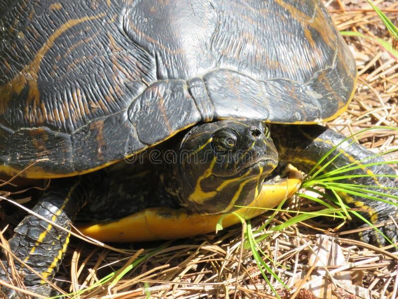 Schildpad op grond stock afbeeldingen