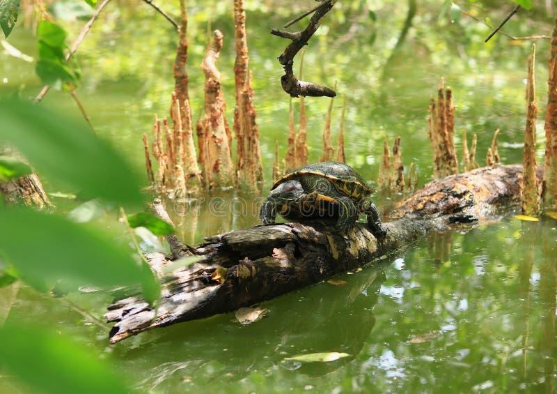 Schildpad op Houten Stok in Meerwater royalty-vrije stock afbeeldingen