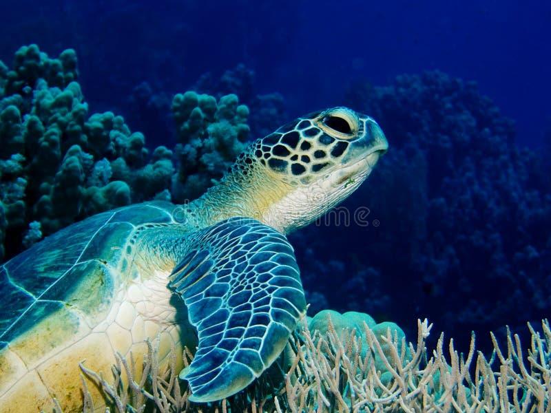 Schildpad op koraalrif royalty-vrije stock afbeeldingen