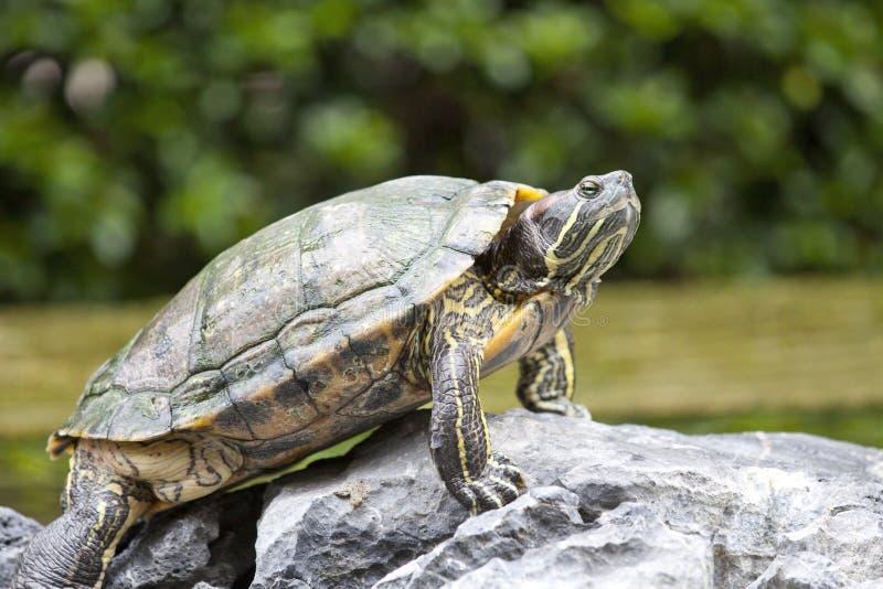 Schildpad op steen stock foto's
