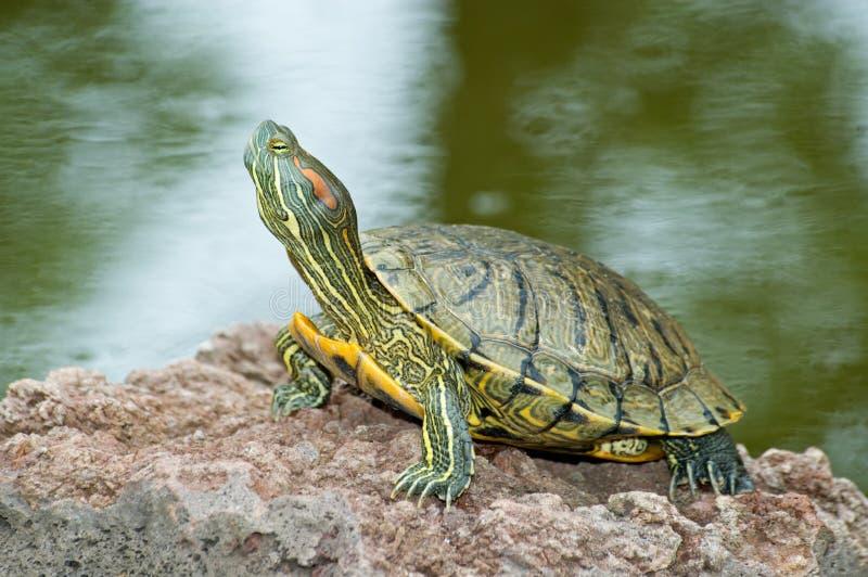 Schildpad op Steen royalty-vrije stock foto