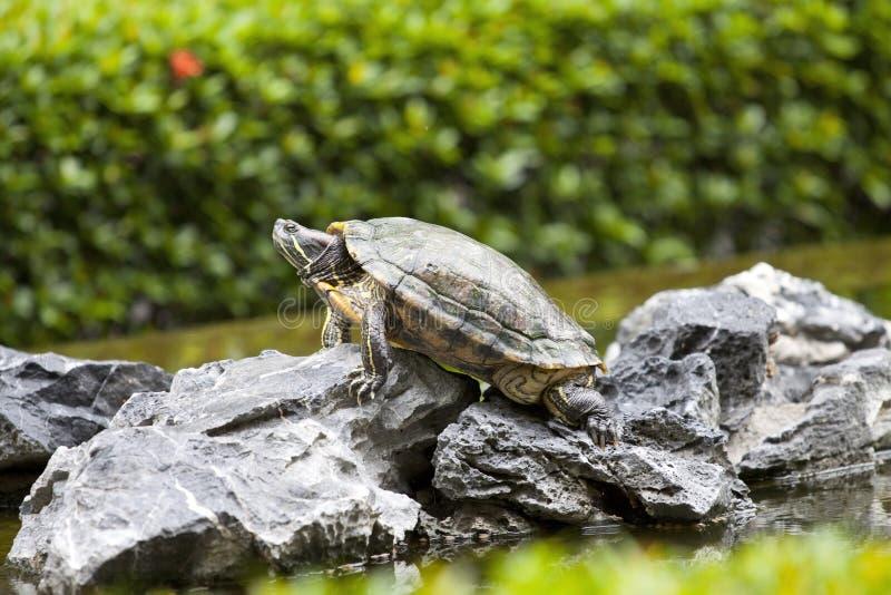 Schildpad op steenwachten stock afbeeldingen
