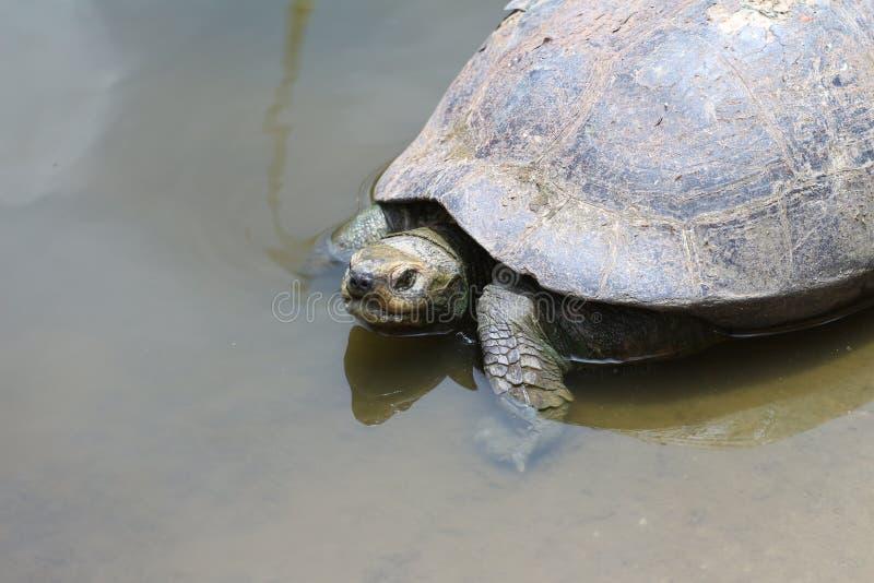 Schildpad op water royalty-vrije stock fotografie