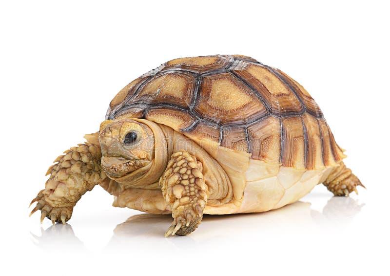 Schildpad op witte achtergrond stock afbeeldingen