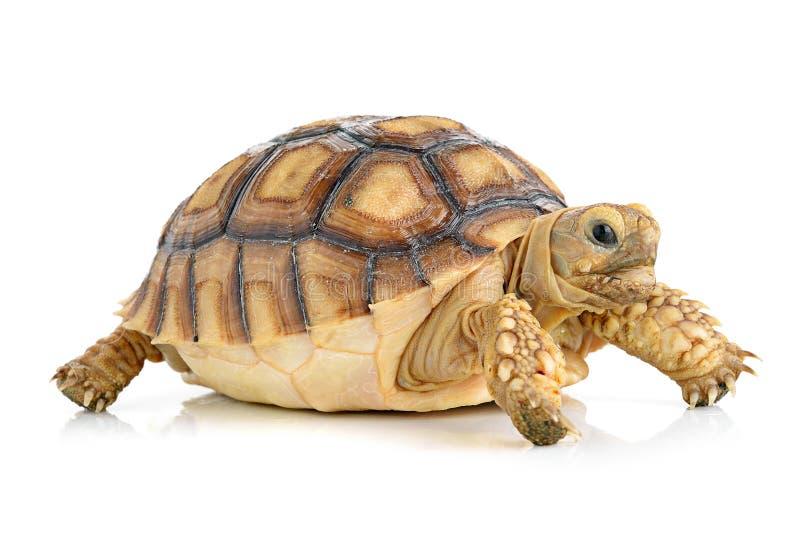 Schildpad op witte achtergrond royalty-vrije stock afbeeldingen