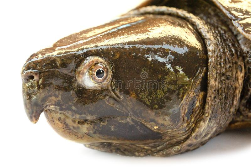 Schildpad ' Platysternon megacephalum' voor een witte achtergrond, is een zoetwaterschildpad, vleesetend, Platysternon-megacephal royalty-vrije stock afbeelding