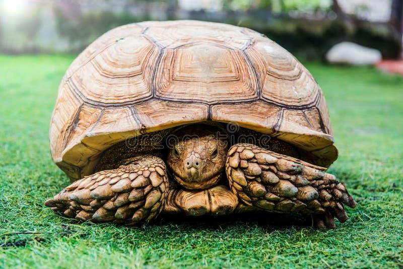Schildpad, reptielendier stock afbeeldingen