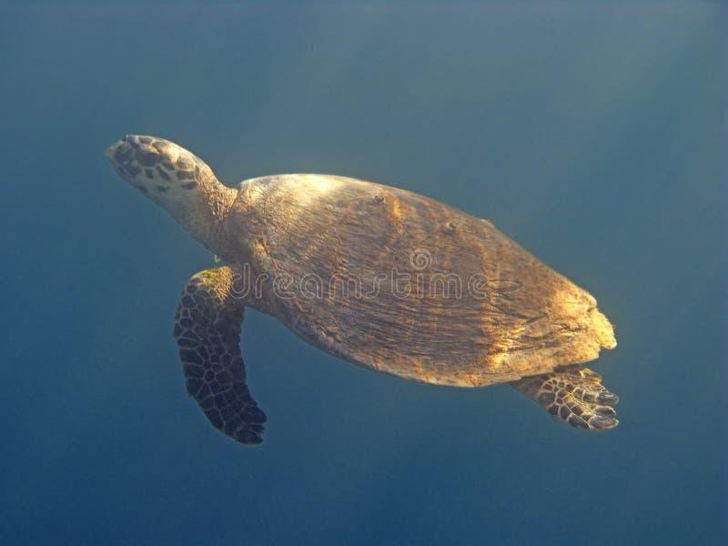 Schildpad in rode overzees royalty-vrije stock foto