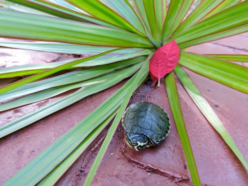 Schildpad in rood stock afbeelding