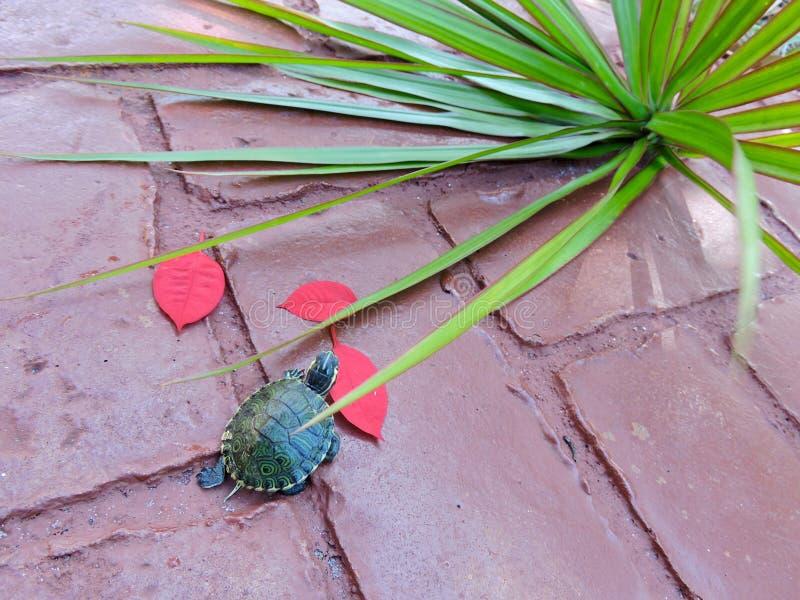 Schildpad in rood royalty-vrije stock foto's