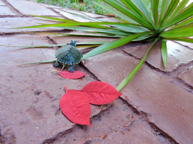 Schildpad in rood royalty-vrije stock foto