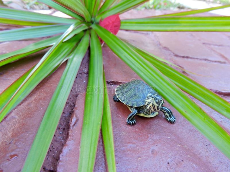 Schildpad in rood royalty-vrije stock fotografie