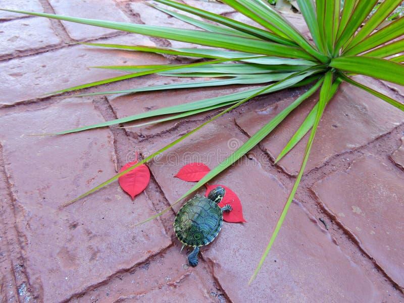 Schildpad in rood royalty-vrije stock afbeeldingen