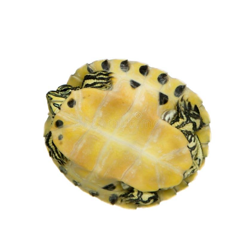 Schildpad - trachemys stock foto