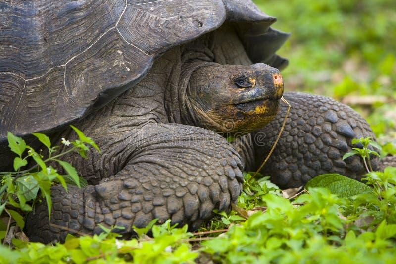 Schildpad van het Eiland van de Galapagos stock foto's