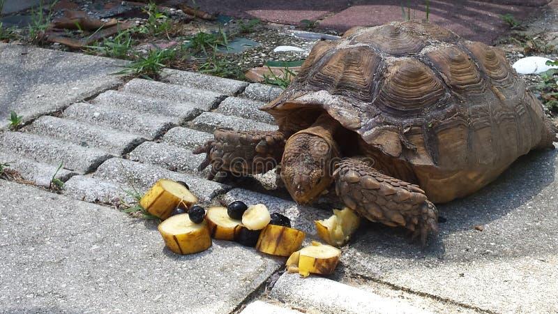 Schildpad voor lunch stock fotografie
