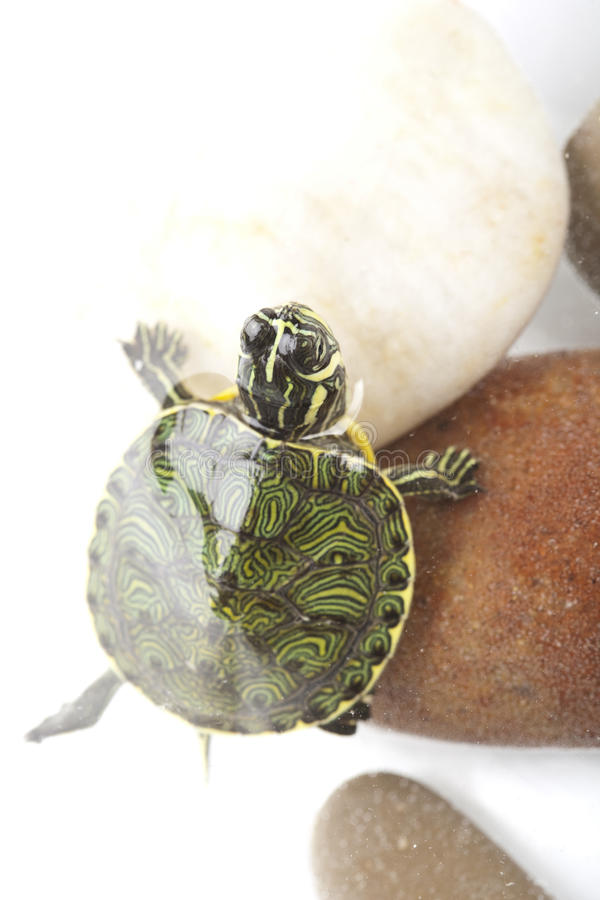 Schildpad in water stock foto