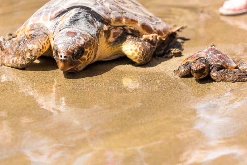 Schildpadbaby met moeder op strand royalty-vrije stock fotografie