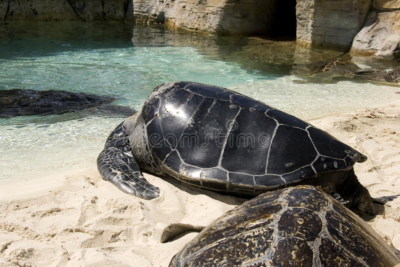 Download Schildpadden stock foto. Afbeelding bestaande uit zwem - 10779966