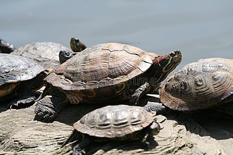 Schildpadden stock afbeelding