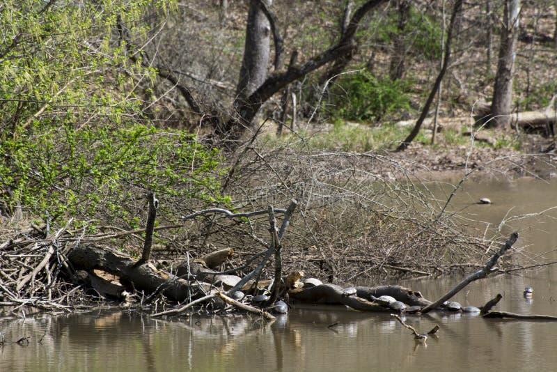 Schildpadden die in de vroege lente zonnen royalty-vrije stock afbeelding