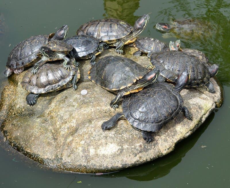 Schildpadden die op een grote steen op een meer leggen stock foto's