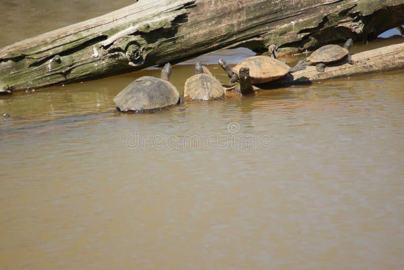 Schildpadden die op login het water zonnen stock afbeeldingen