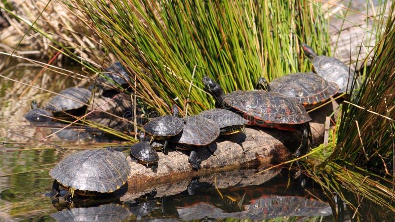 Schildpadden in een vijver royalty-vrije stock fotografie