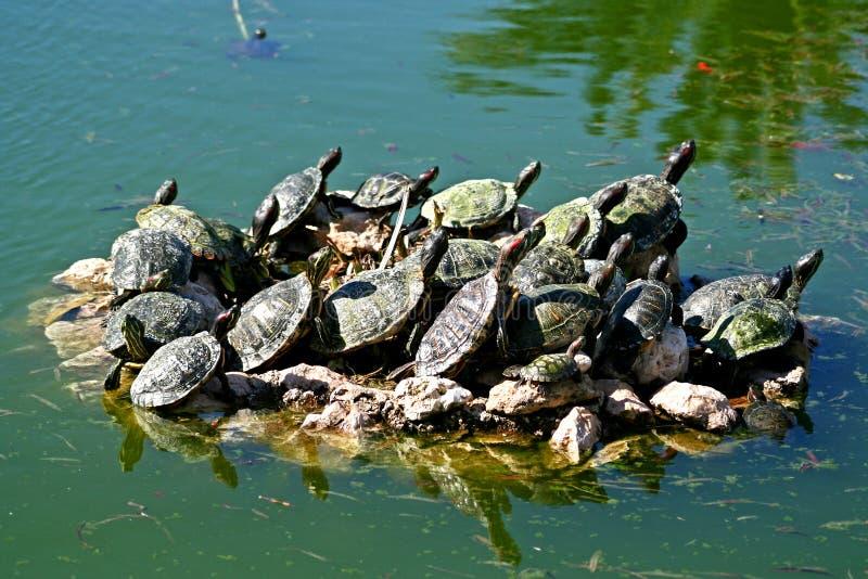 Schildpadden in een vijver royalty-vrije stock foto's