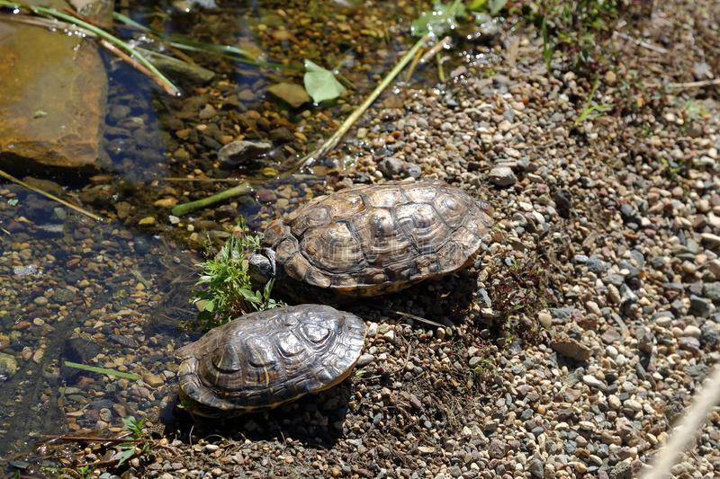 Schildpadden en modderig water stock afbeeldingen
