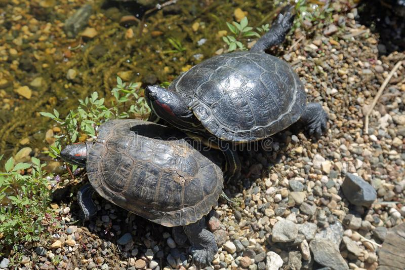 Schildpadden en modderig water royalty-vrije stock fotografie