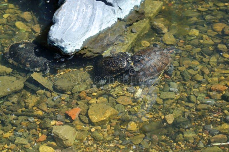 Schildpadden en modderig water royalty-vrije stock afbeelding