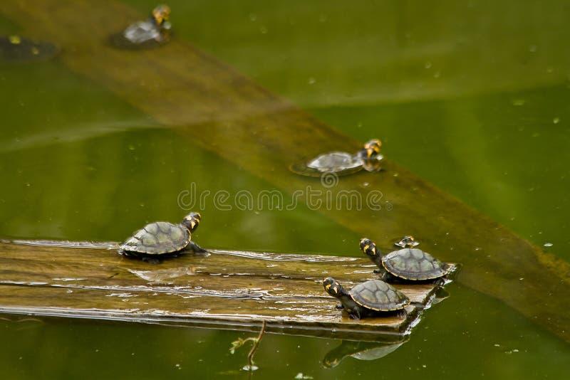 Schildpadden in het regenwoud van Amazonië, het Nationale Park van Yasuni stock afbeelding