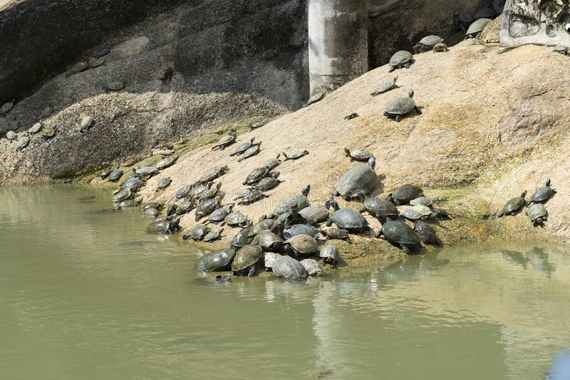 Schildpadden in Kek Lok Si Temple in Penang-eiland, Maleisië royalty-vrije stock fotografie