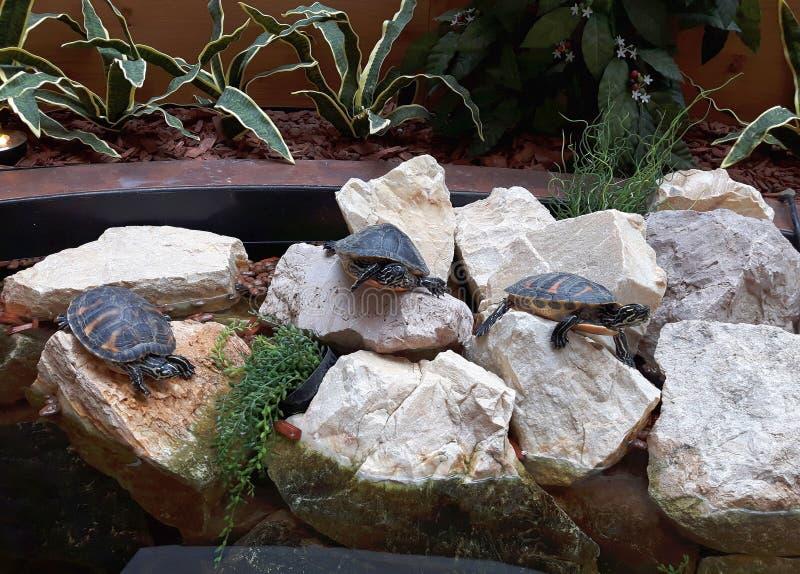 Schildpadden op de rotsen stock foto's