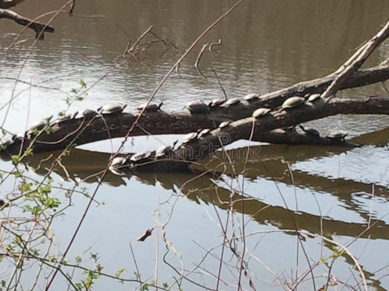 Schildpadden op een logboek royalty-vrije stock foto
