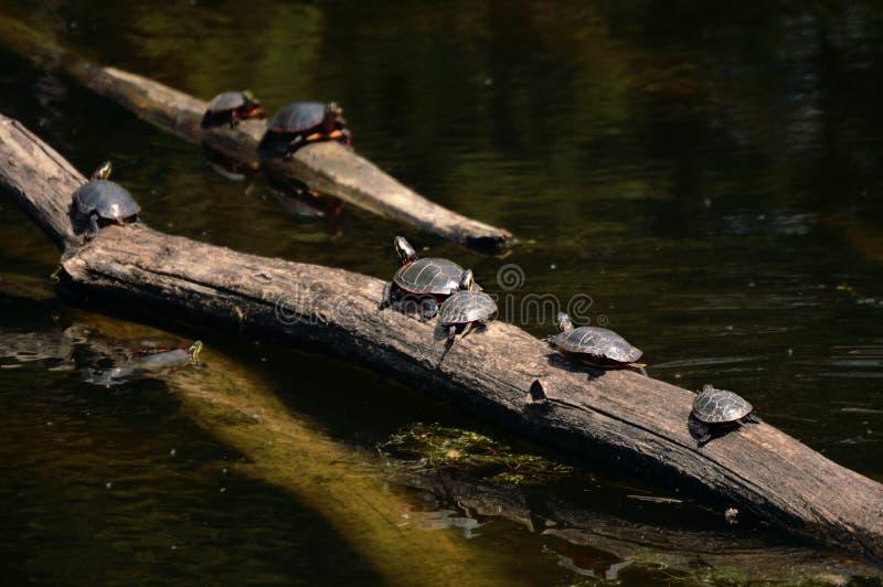 Schildpadden op Logboek royalty-vrije stock foto