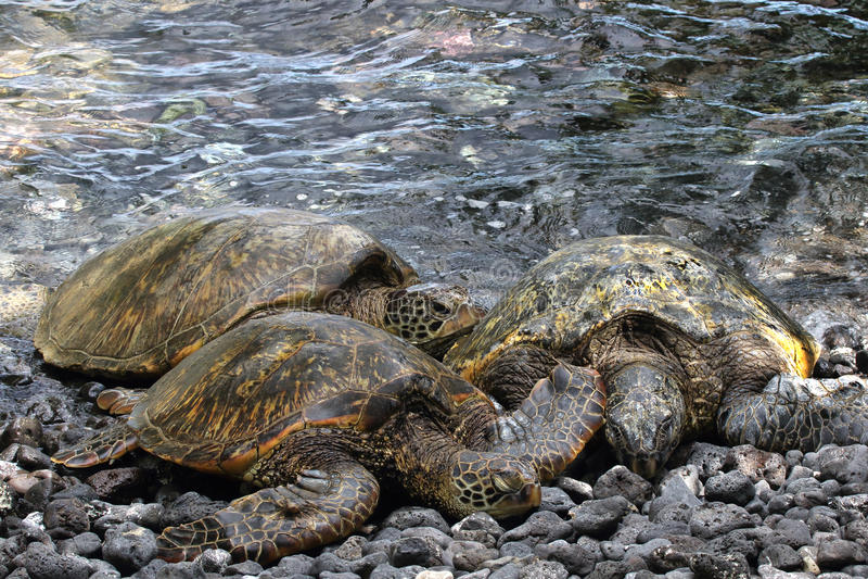 Schildpadden op Maui stock foto's