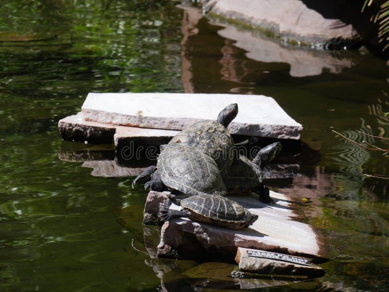 Schildpadden in vijver stock fotografie