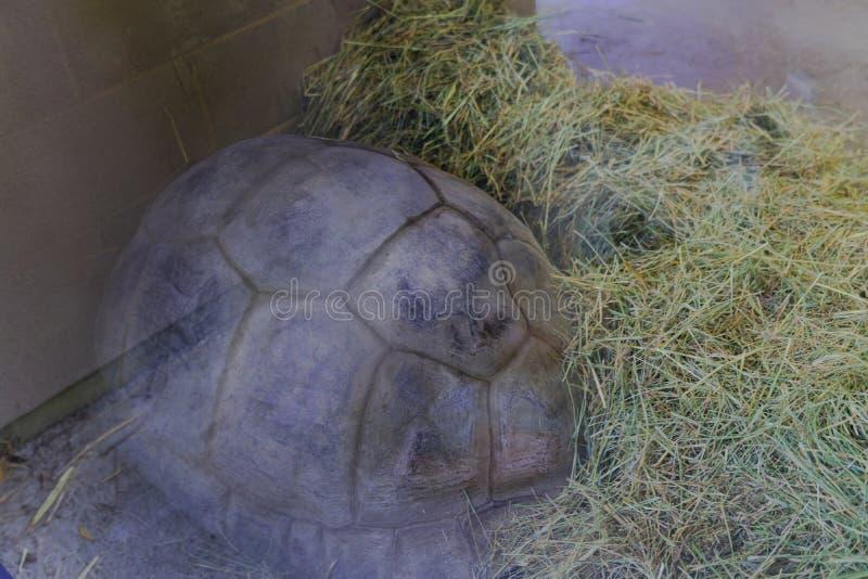 Schildpaddier, Levend organisme stock afbeelding
