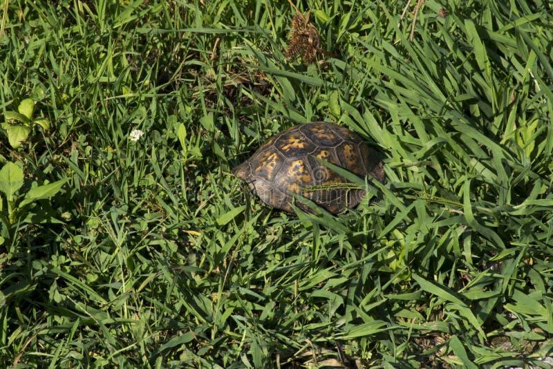 Schildpadshell in gras stock foto's
