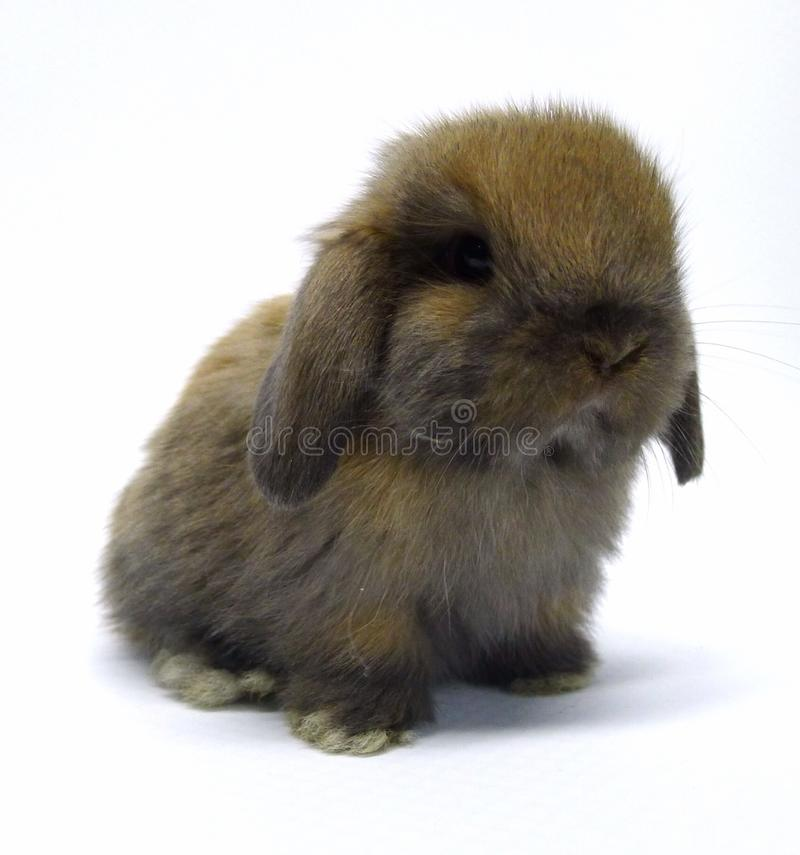 Schildpatt Holland Lop Rabbit lizenzfreie stockbilder