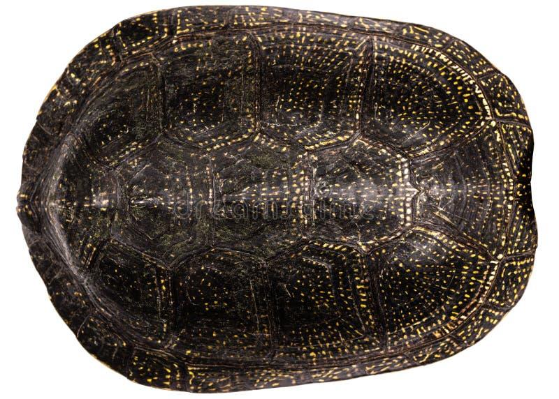 Schildpatt, lokalisiert auf einem weißen Hintergrund stockbild
