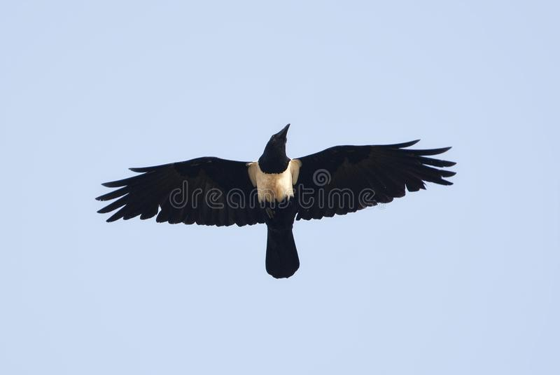 Schildraaf, cuervo de varios colores, albus del Corvus foto de archivo libre de regalías