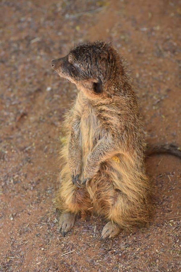 Schildwacht Meerkat die op zijn Hind Legs opstaan royalty-vrije stock afbeelding