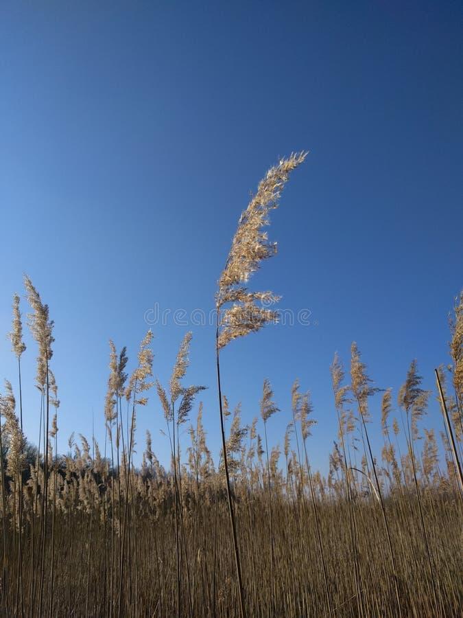 Schilf mit blauem Himmel stockfotos
