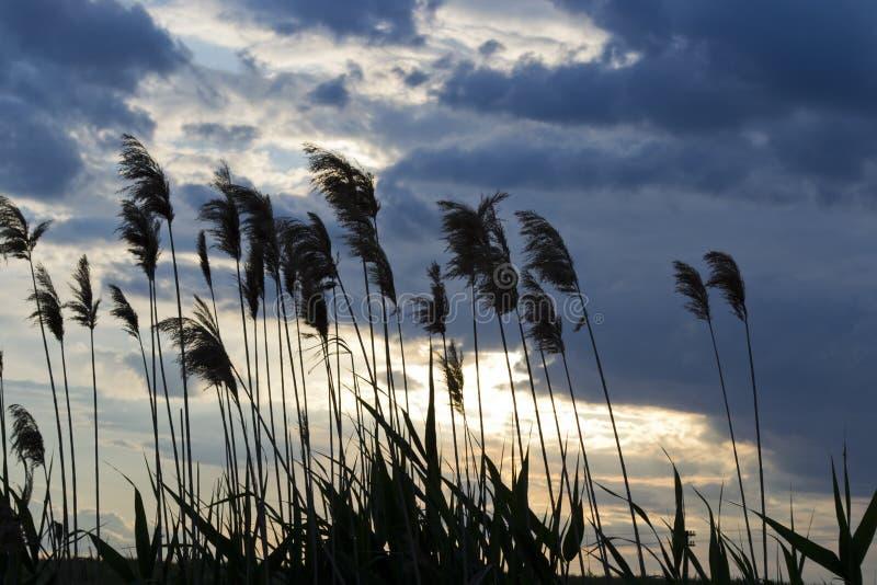 Schilf am Sonnenuntergang lizenzfreies stockbild
